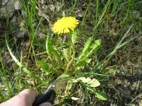 Полезные свойства корней одуванчика и противопоказания к их употреблению